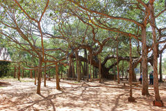 Banyan tree in Auroville Stock Photo