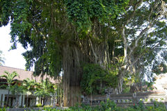 Banyan tree in Bali island Royalty Free Stock Photo