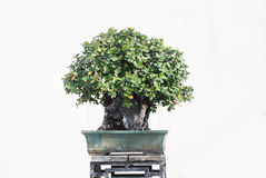 The banyan tree bonsai. The Chinese banyan tree bonsai in a ceramic pot in garden stock photo