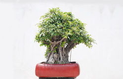 The banyan tree bonsai. The Chinese banyan tree bonsai with many aerial roots stock images
