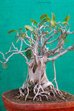 Banyan Tree Bonsai Royalty Free Stock Photography