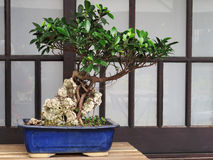 Banyan tree bonsai Stock Photo