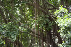 Banyan tree Royalty Free Stock Images