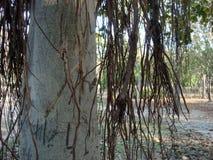Banyan tree branches close up. Close up of old banyan tree branches Royalty Free Stock Photo