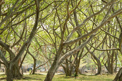 Banyan tree and branches Royalty Free Stock Photos