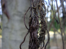 Banyan tree branches. Picture of banyan tree branches Stock Images