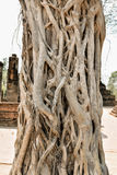 Banyan Tree Royalty Free Stock Photos