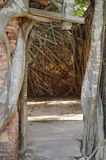 Banyan tree cover door frame of ancient Buddhist temple Royalty Free Stock Image