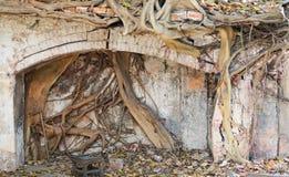 Banyan tree destroying stone Royalty Free Stock Image