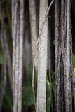 Banyan Tree Detail 2 Royalty Free Stock Photos