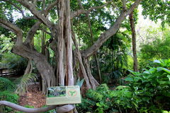 Banyan tree on display at Eco-friendly Jungle Island,Miami,2014. The exotic Banyan tree, which can grow to cover acres of land, on display at world famous Jungle royalty free stock photography