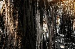 Banyan tree. Stock Photography