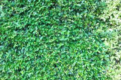 Banyan tree or Ficus annulata or ficus bengalensis. Or green leaf stock photography