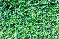 Banyan tree or Ficus annulata or ficus bengalensis. Or green leaf royalty free stock image