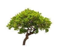 Banyan Tree (Ficus annulata) Stock Image