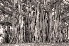 Banyan Tree Ficus benghalensis Royalty Free Stock Photography