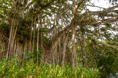 Banyan Tree. The Ficus benghalensis, also known the as Banyan Tree, has a complex structure of roots and extensive branching system royalty free stock image