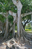 Banyan Tree (ficus citrifolia). This huge Banyan tree was planted by Thomas Alva Edison in 1925 in the Ford/Edison Estate. It is said to be the third largest in Stock Photos