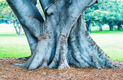 Banyan Tree on a garden Stock Photo