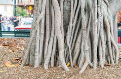 Banyan Tree on a garden Royalty Free Stock Images