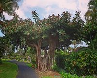 Banyan tree. In garden in Bali, Indonesia royalty free stock image