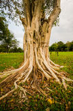 Banyan tree in the garden of one stock photos
