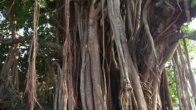 Banyan tree on Goa beach. Banyan ficus tree on the arambol beach of north Goa, India stock video