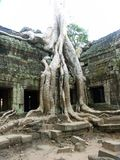 Banyan tree growing through ancient temple Stock Photography
