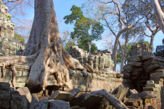 Banyan Tree Growing Over Angkor Temple Royalty Free Stock Photo