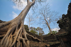 Banyan tree growing on Ta Prohm temple taken in Cambodia Stock Photos