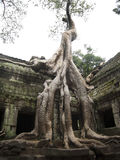 Banyan Tree growing on top of temple Ta Prohm stock images