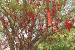 Banyan tree of happiness with red ribbons in China. Banyan tree with red ribbons; Chinese people belief that this tree with red robbons will bring them happiness Royalty Free Stock Images