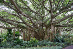 Banyan tree. Has multiple trunks, and large number of branches. It was taken in Florida stock photos