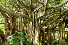 Banyan tree. Has a very unique appearance, with multiple trunks, and large number of branches stock photo