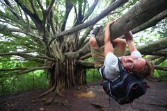 Banyan tree and hiker, Maui, Hawaii. Man hiking climbing giant Hawaiian Banyan tree on the Pipiwai Trail to Waimoku Falls around Haleakala National Park royalty free stock image