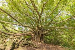 Banyan Tree. A huge banyan tree on a trail in Haleakala national park near Hana Maui royalty free stock photography