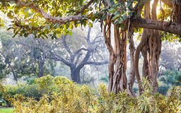 Banyan tree in India. Banyan tree in Buddha Jayanti park, New Delhi, India royalty free stock photography