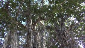Banyan tree in Jaipur park,India Royalty Free Stock Images