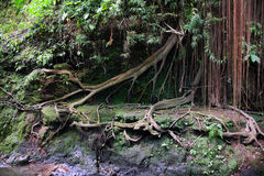 Banyan tree in the jungle of Sumatra.  Stock Photos