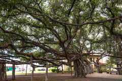 Banyan Tree in Lahaina, Maui Stock Photography