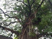 Banyan tree royalty free stock photography