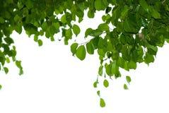 Banyan tree leaf. Isolated on white background royalty free stock photo