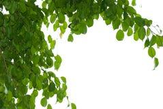 Banyan tree leaf. Isolated on white background royalty free stock photos