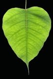 Banyan Tree leaf. Banyan Tree young leaf, Ficus Religiosa plant Stock Photography