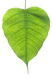 Banyan Tree leaf. Banyan Tree young leaf, Ficus Religiosa plant Royalty Free Stock Photography