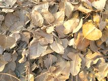 Banyan tree leaves Royalty Free Stock Photos