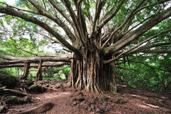 Banyan Tree Maui, Hawaii. Banyan Tree on the way to Waimoku Falls royalty free stock image