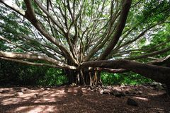 Banyan Tree Maui, Hawaii Stock Image