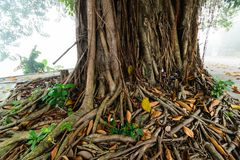 Banyan Tree. A banyan tree in Mexico Stock Images