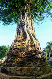 The Banyan tree on the pagoda Stock Photos